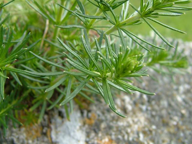 Leaves-of-Ladys-bedstraw