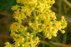 Flower-of-Ladys-bedstraw