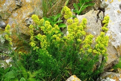 Ladys-bedstraw-plant