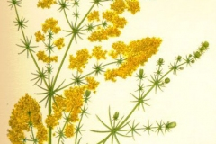 Plant-illustration-of-Ladys-bedstraw