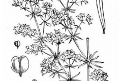 Sketch-of-Ladys-bedstraw