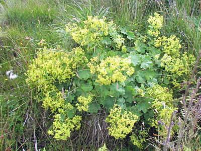 Ladys-Mantle-plant