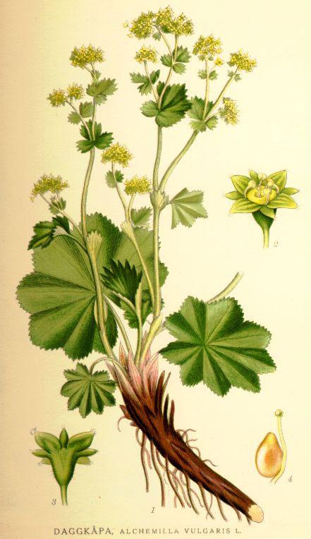 Plant-Illustration-of-Ladys-Mantle