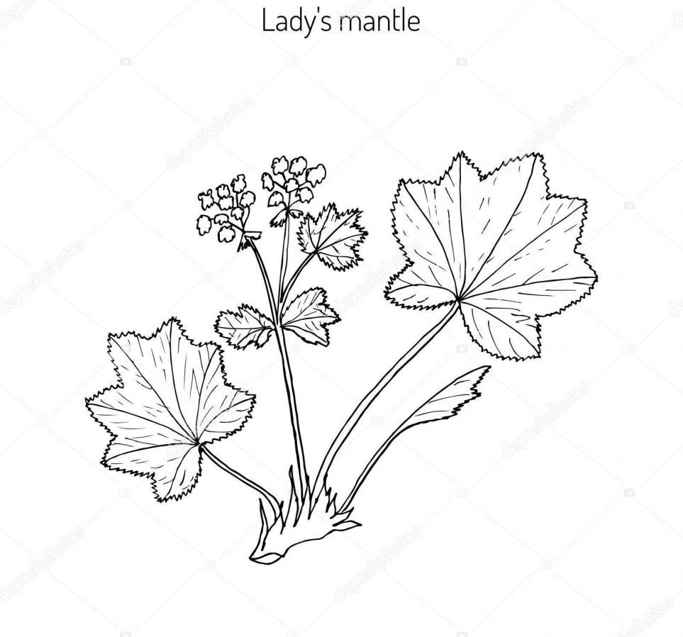 Sketch-of-Ladys-Mantle