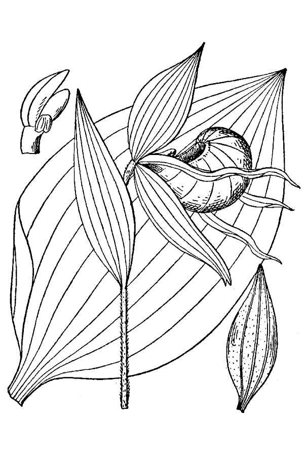 Drawing-of-Lady's-Slipper