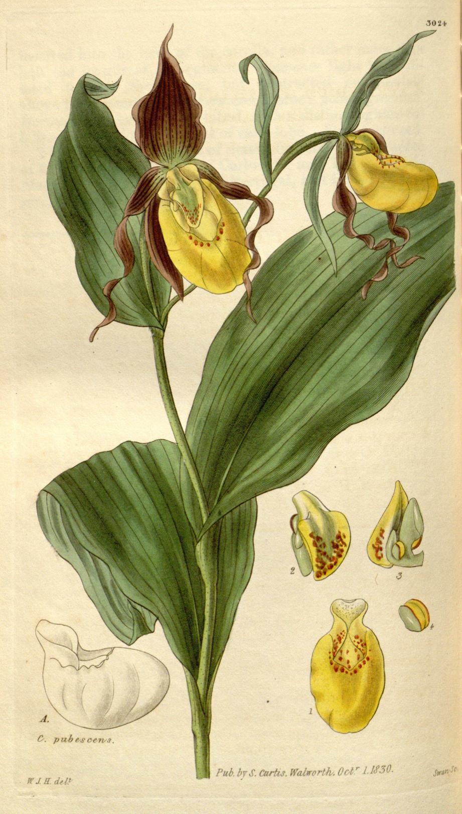 Illustration-of-Lady's-Slipper