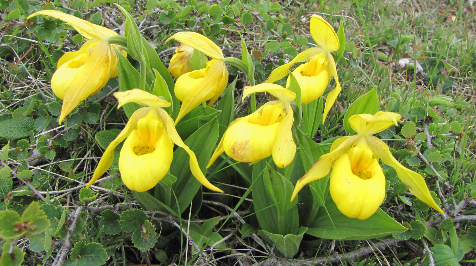 Ladys slipper facts and health benefits ladys slipper flower mightylinksfo