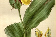 Illustration-of-Lady's-Slipper