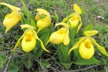 Lady's-Slipper-flower