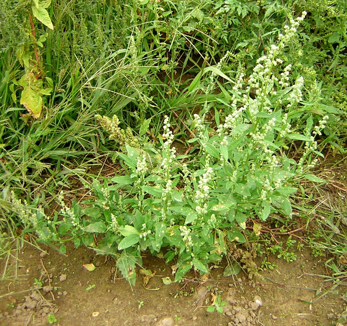 Plant-of-Lamb's-quarter