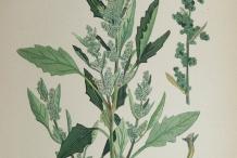 Plant-illustration-of-Lamb's-quarter