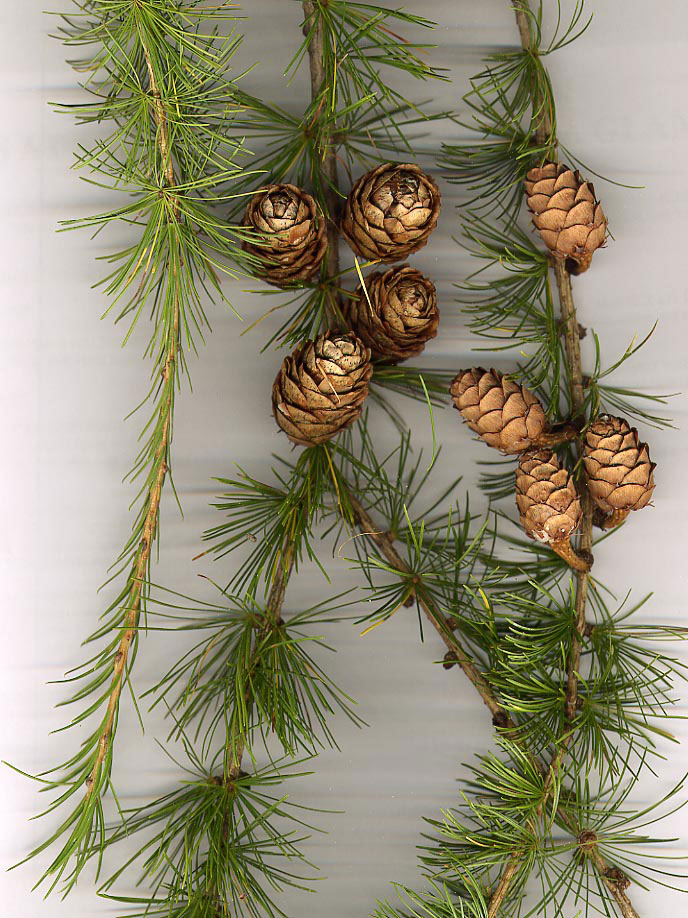 Larch-foliage-and-cones
