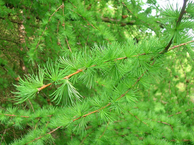 Leaves-of-Larch