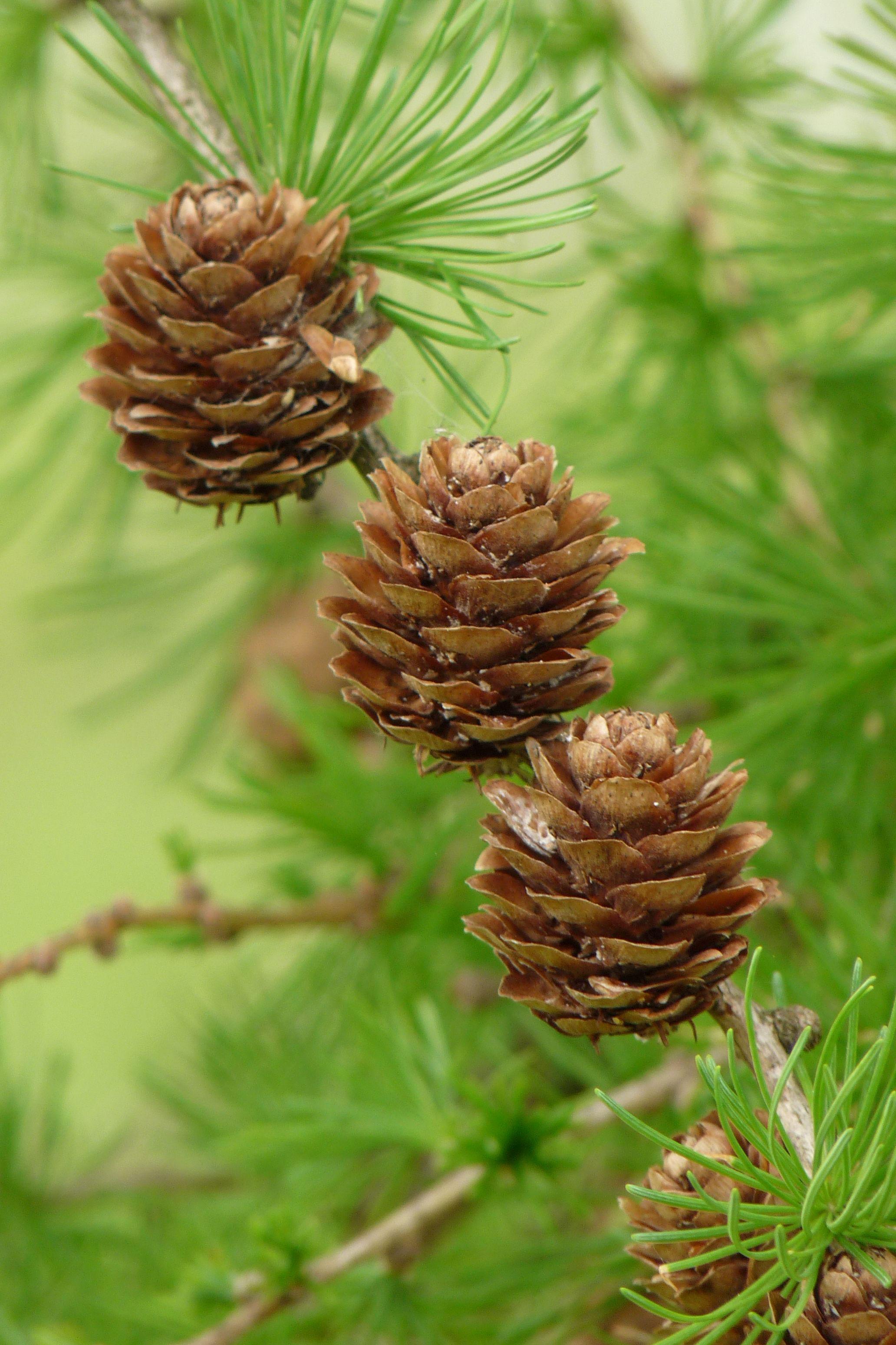 Mature-cones-of-Larch