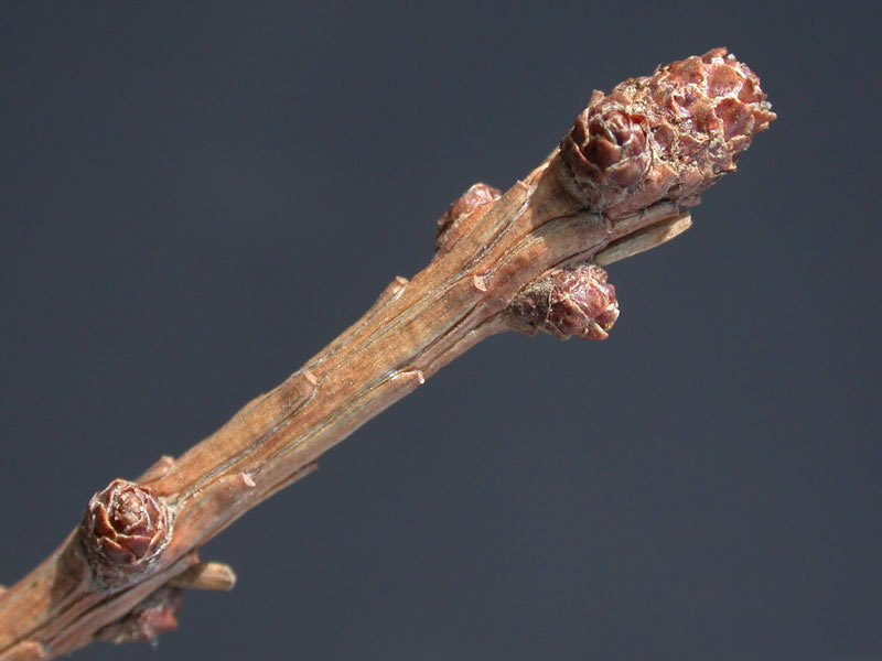 Twig-of-Larch