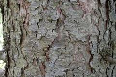 Bark-of-Larch
