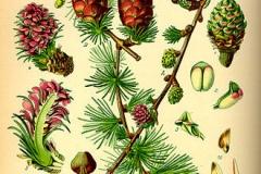 Plant-illustration-of-Larch