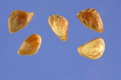 Seeds-of-Larch