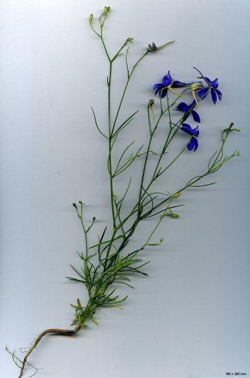 Larkspur-whole-plant