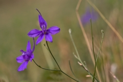 Close-view-of-Larkspur-flower