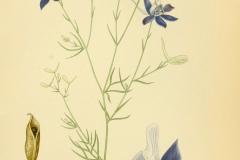 Plant-illustration-of-Larkspur