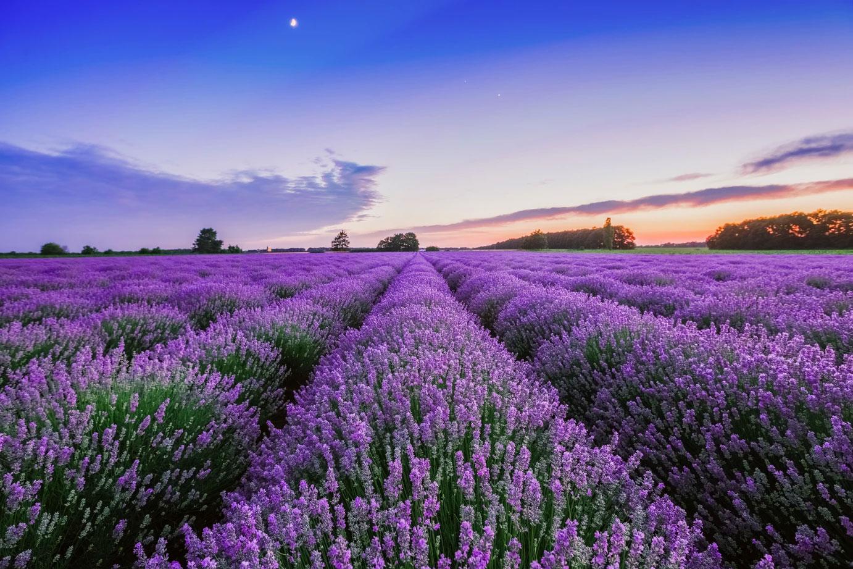 Lavender-farming