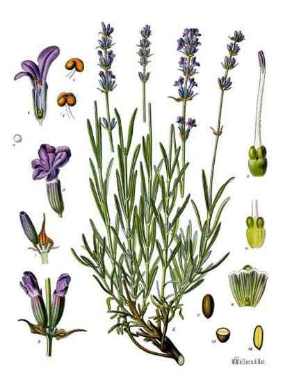 Plant-Illustration-of-Lavander