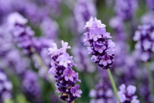 Flower-of-Lavender