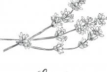 Sketch-of-Lavender