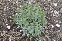 Lavender-Plant
