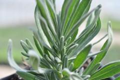 Leaves-of-Lavender