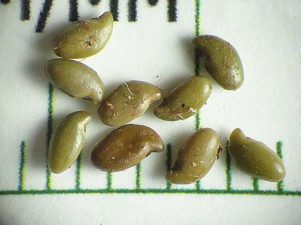 Seeds-of-Lead-plant