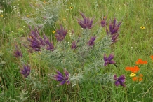 Lead-plant-growing-wild