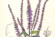 Plant-Illustration-of-Lead-plant