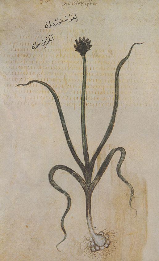 Plant-illustration-of-Leeks