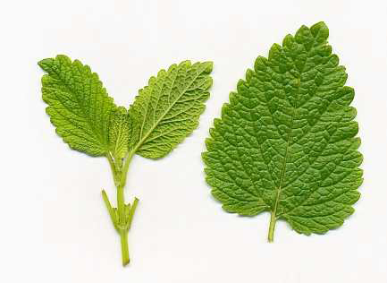 Dorsal-side-of-Lemon-balm-leaf