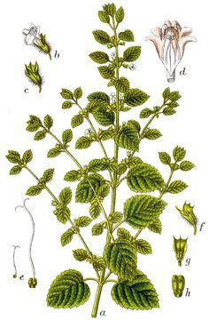 Lemon-balm-plant-Illustration
