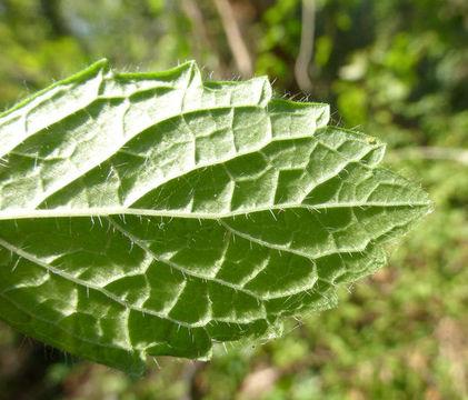 Ventral-side-of-Lemon-balm-leaf