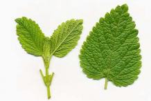 Dorsal-side-of-Lemon-balm-leaf