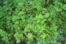 Lemon-balm-bushes