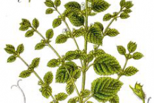 Lemon-balm-plant-Illustration
