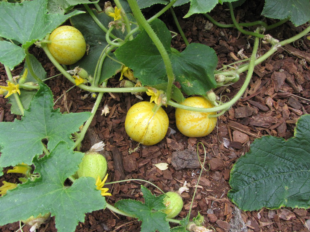Lemon-Cucumber-Plant