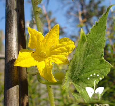 Lemon-Cucumber-blossom-&-leaf
