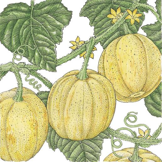 Plant-Illustration-of-Lemon-Cucumber