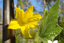 Lemon-Cucumber-blossom-&-leaf