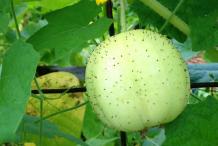 Lemon-Cucumber-on-the-plant