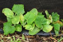 Small-Lemon-Cucumber-plant