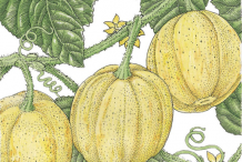 Plant-Illustration-of-Lemon-Cucumber