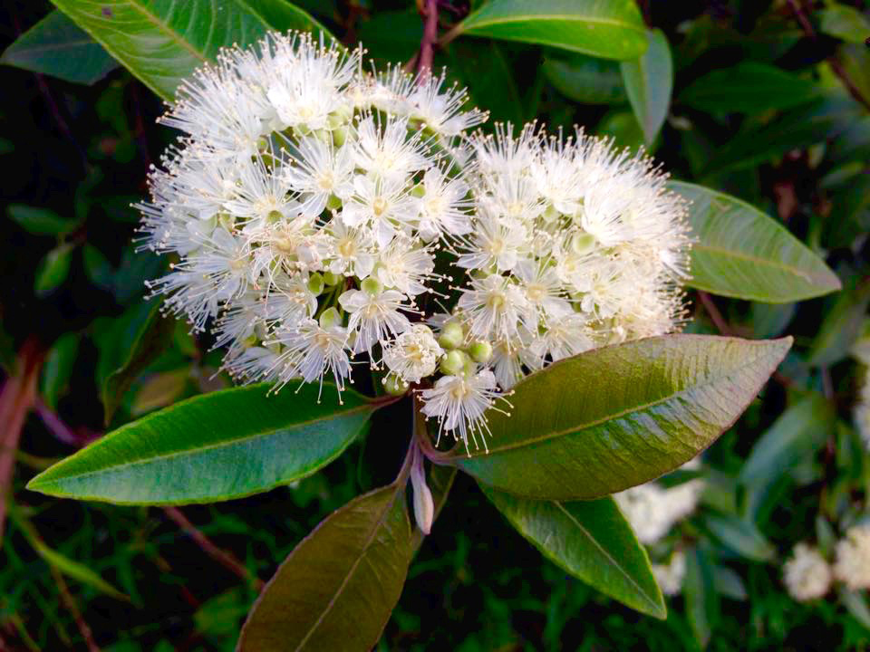 Flower-of-Lemon-myrtle