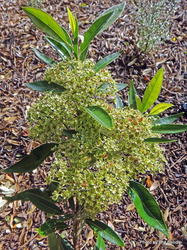 Lemon-myrtle-Plant
